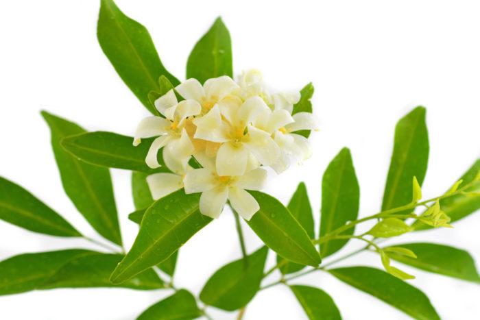 Белые цветы Мурайи