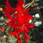Крокосмия - благородное растение,привлекающее красивых бабочек
