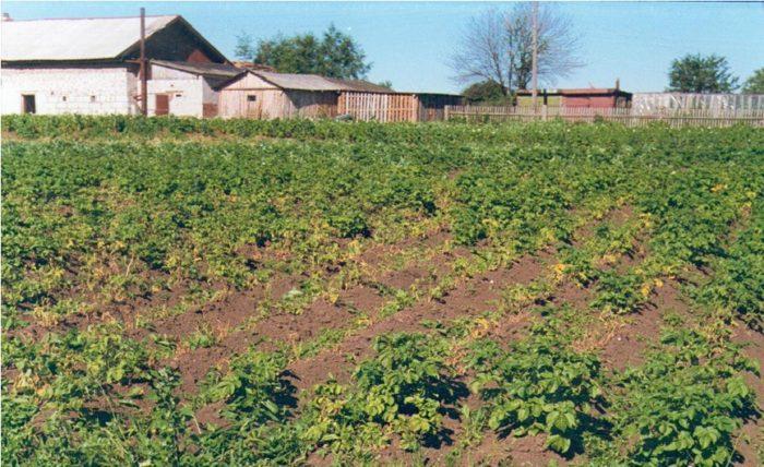 Одним из признаков заражения картофеля является появления очагов угнетения растений на картофельном поле
