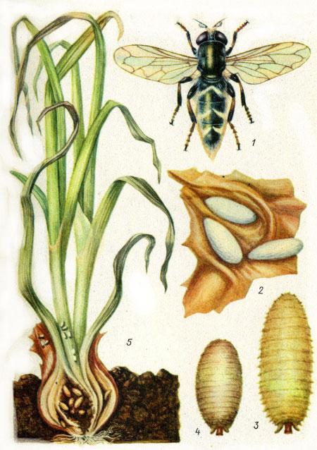 Личинки луковой журчалки часто отставляют от луковицы только наружные стенки