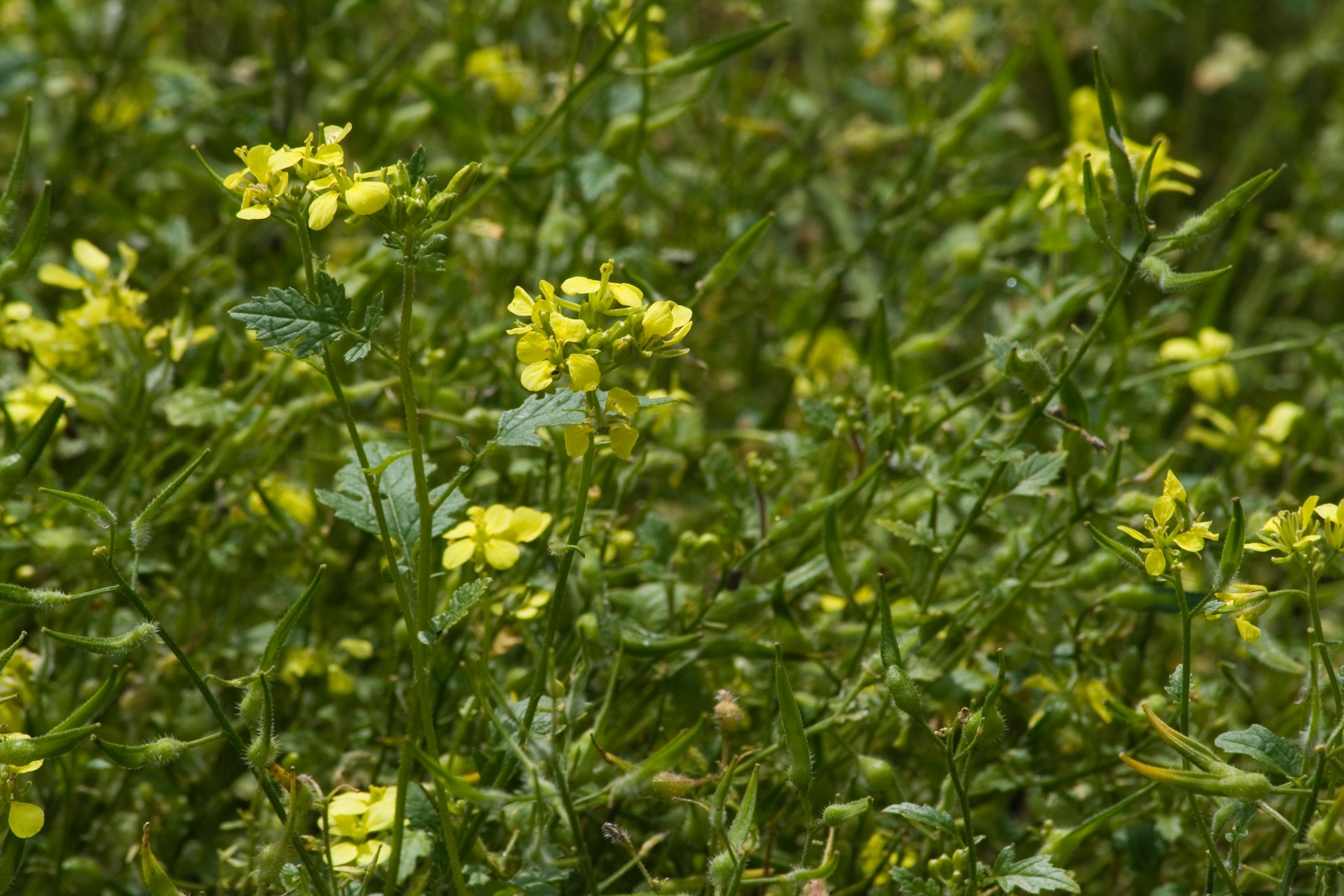 Посев сидератов в июле производят не только ради борьбы с сорняками, но и для насыщения земли азотом для будущих посадок