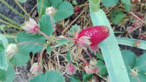 Ягодный гибрид земклуника или земклубника - это уникальное сочетание двух вкусов ягод земляники и клубники