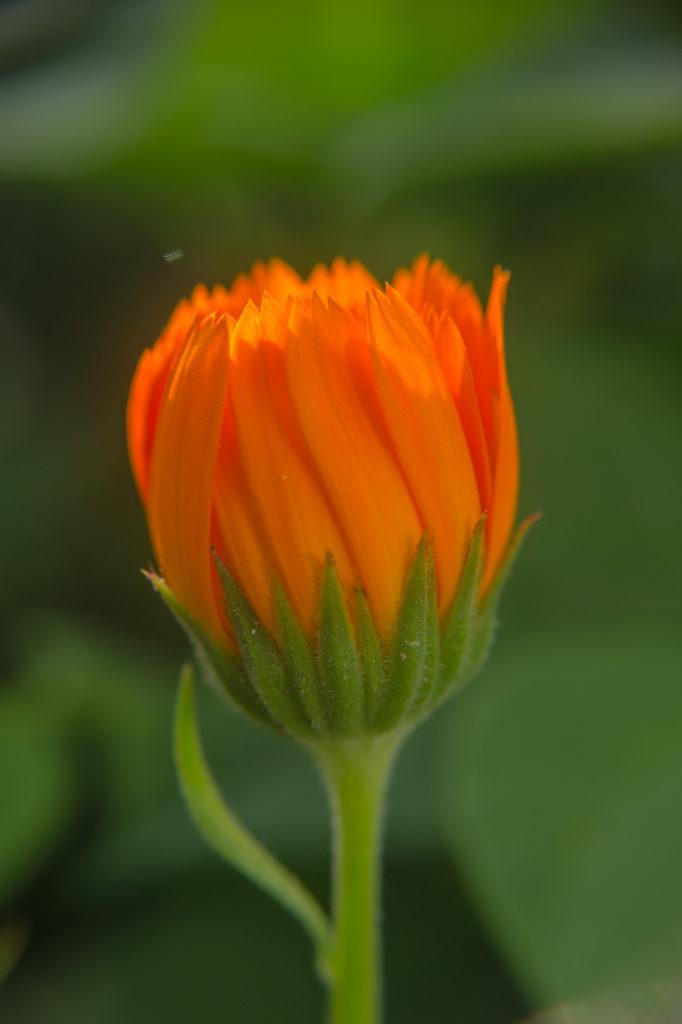 По цветкам календулы можно верно определить погоду.