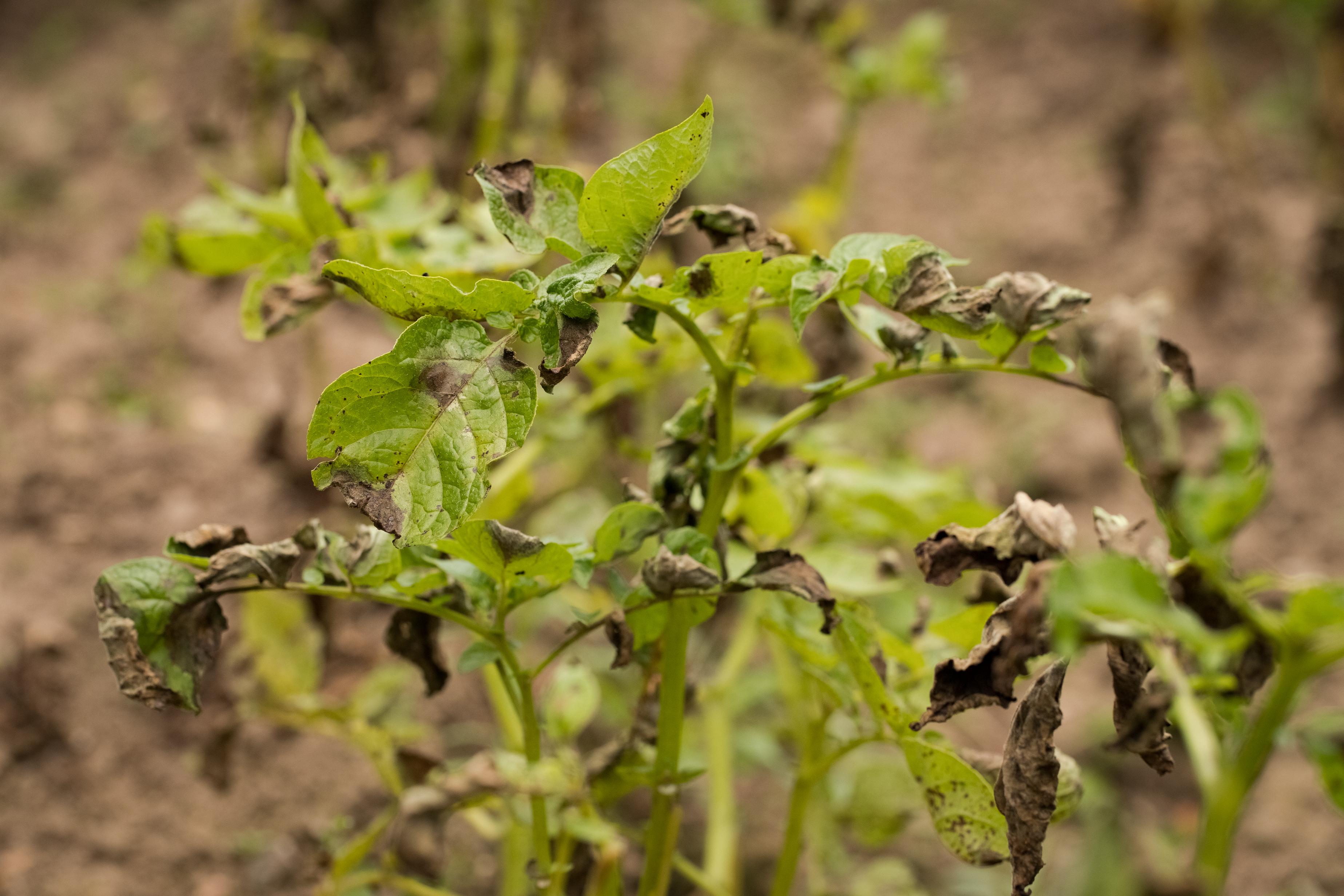Йод в огороде - помощник в борьбе против фитофтороза растений