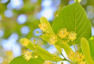 Цветение липы послужило второму названию месяца - Липень.