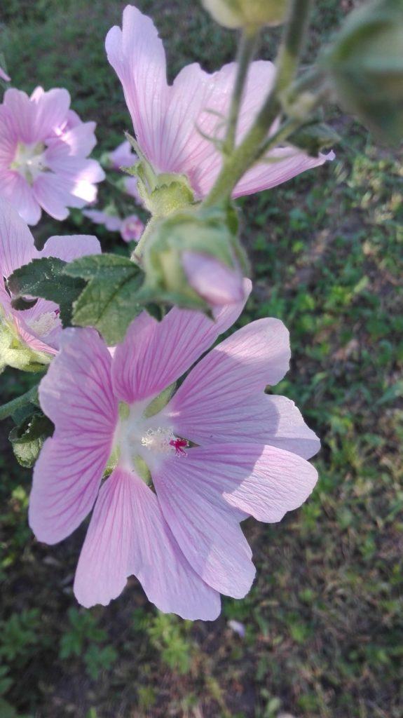 Цветки мальвы верно предсказывают наступление ненастной погоды.