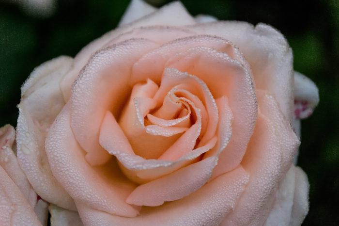 Роза - непревзойдённая королева цветов