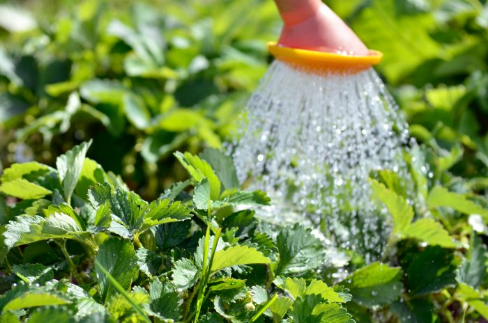 Полив и подкормки нужны для полноценного развития вегетативных почек и иммунитета растения