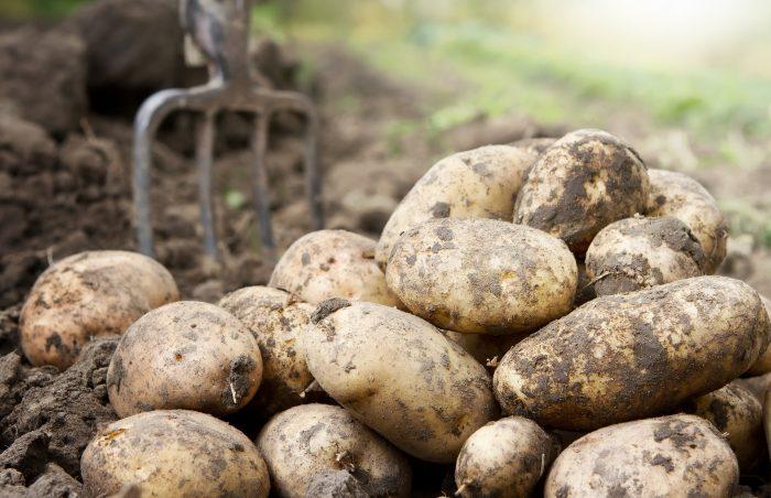 Уборка раннего картофеля в августе