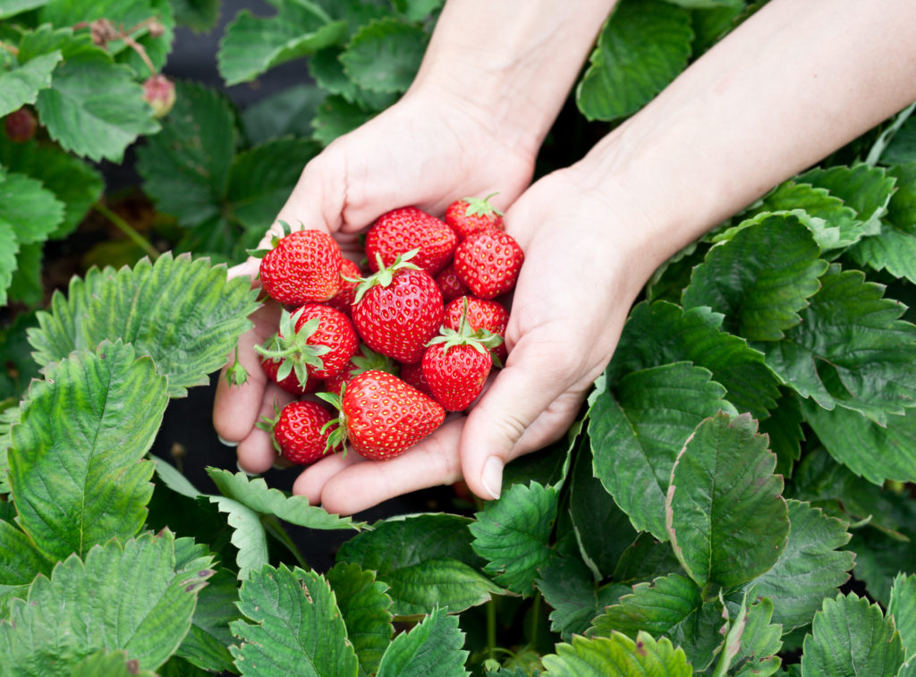 Уход за клубникой после урожая не менее важен, чем во время вегетации или плодоношения
