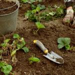 Высадка новых розеток клубники нужна не только для омоложения растения, но и для сохранения сортовых свойств