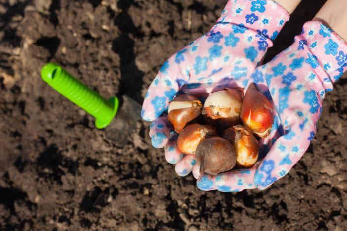 Правильная агротехническая посадка луковиц тюльпанов - залог прекрасного и дружного цветения ранней весной