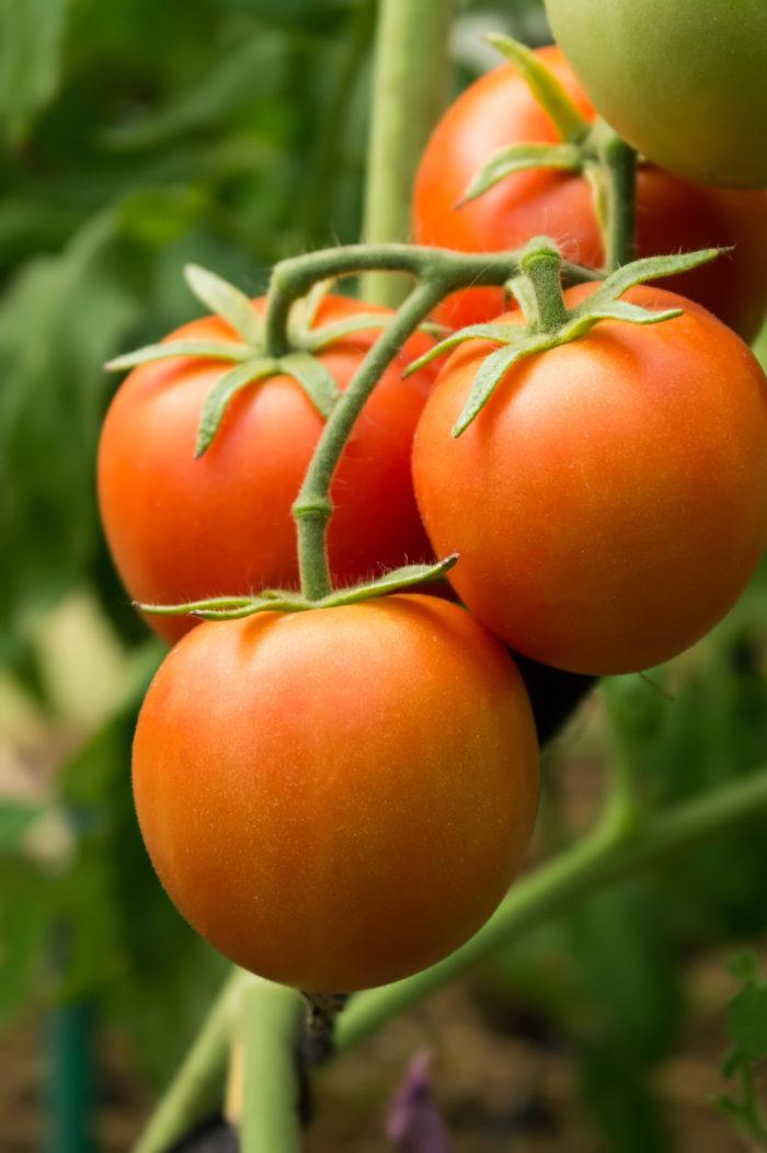 """Сорт томатов """"Марьина роща"""" вас порадует кистевыми каскадами"""