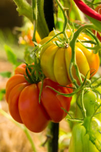 """Сорт томатов """"Грибное лукошко"""" порадует не только вкусовыми качествами своих плодов, но и удивит необычной формой."""