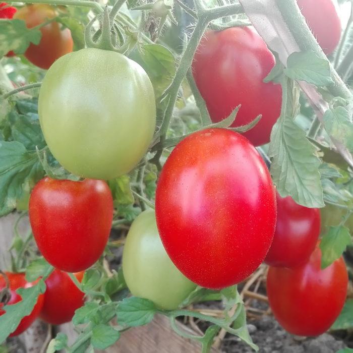 """Сорт томатов """"Де-Барао"""""""