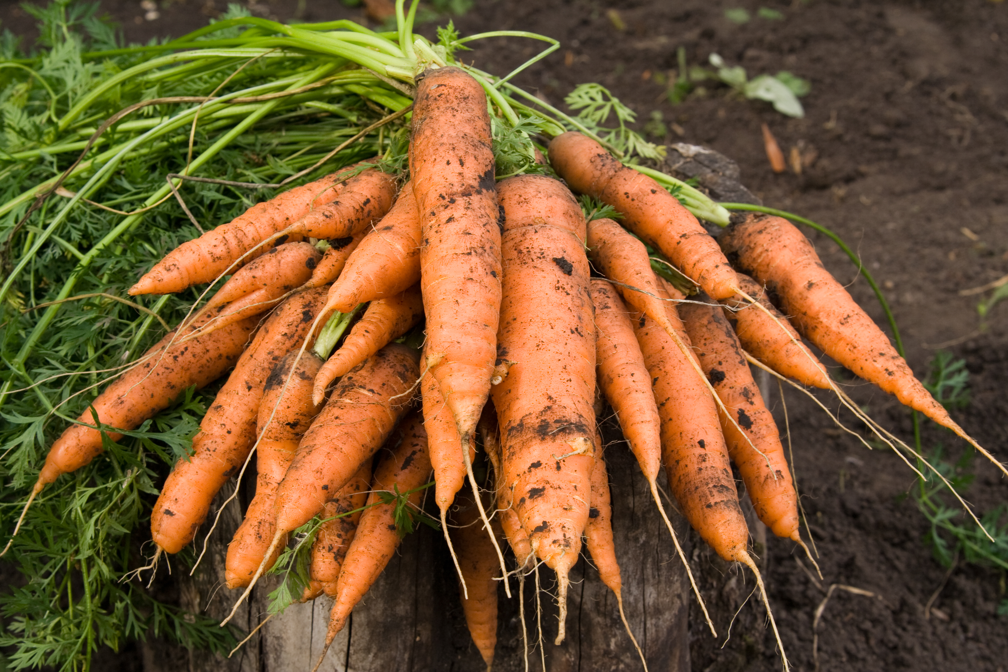 В октябре, как правило, собирают оставшиеся корнеплоды - морковь, свёклу, картофель