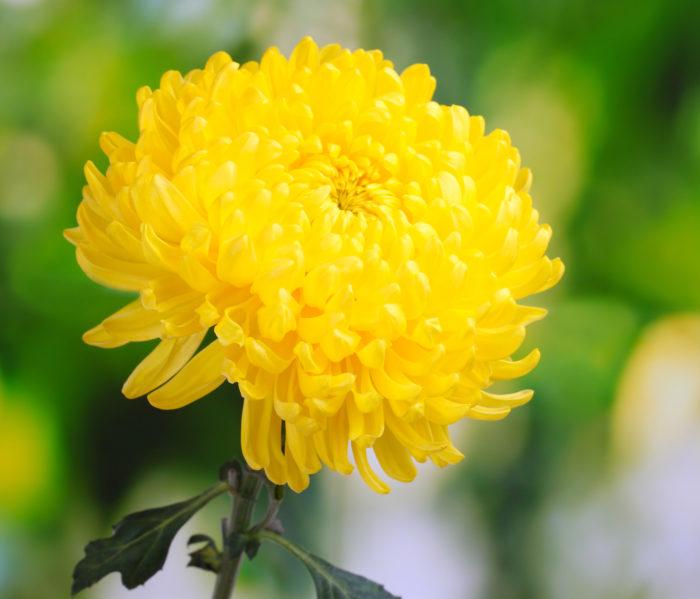 желтая хризантема