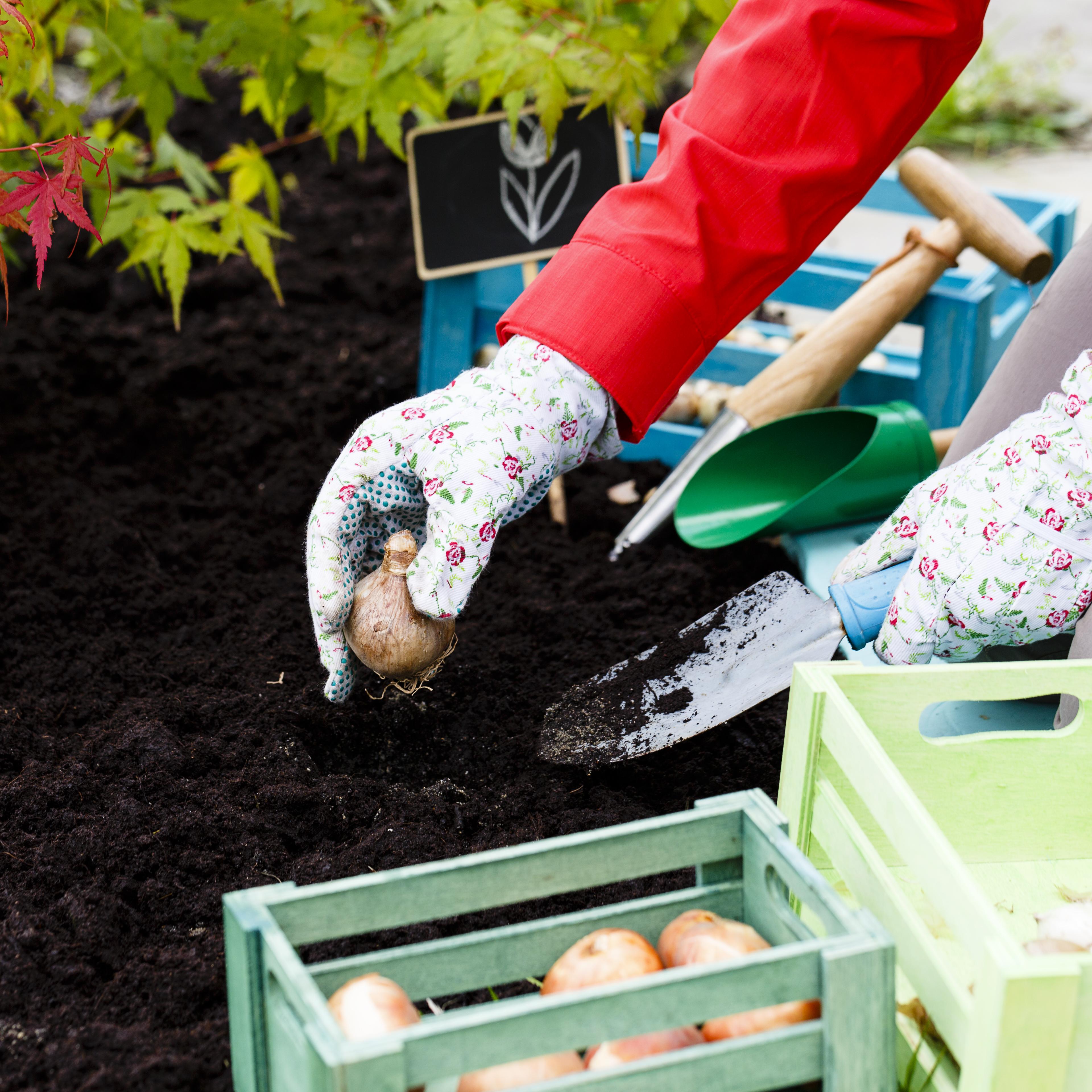 В октябре сажают луковичные цветы, чтобы они весной порадовали своим цветением