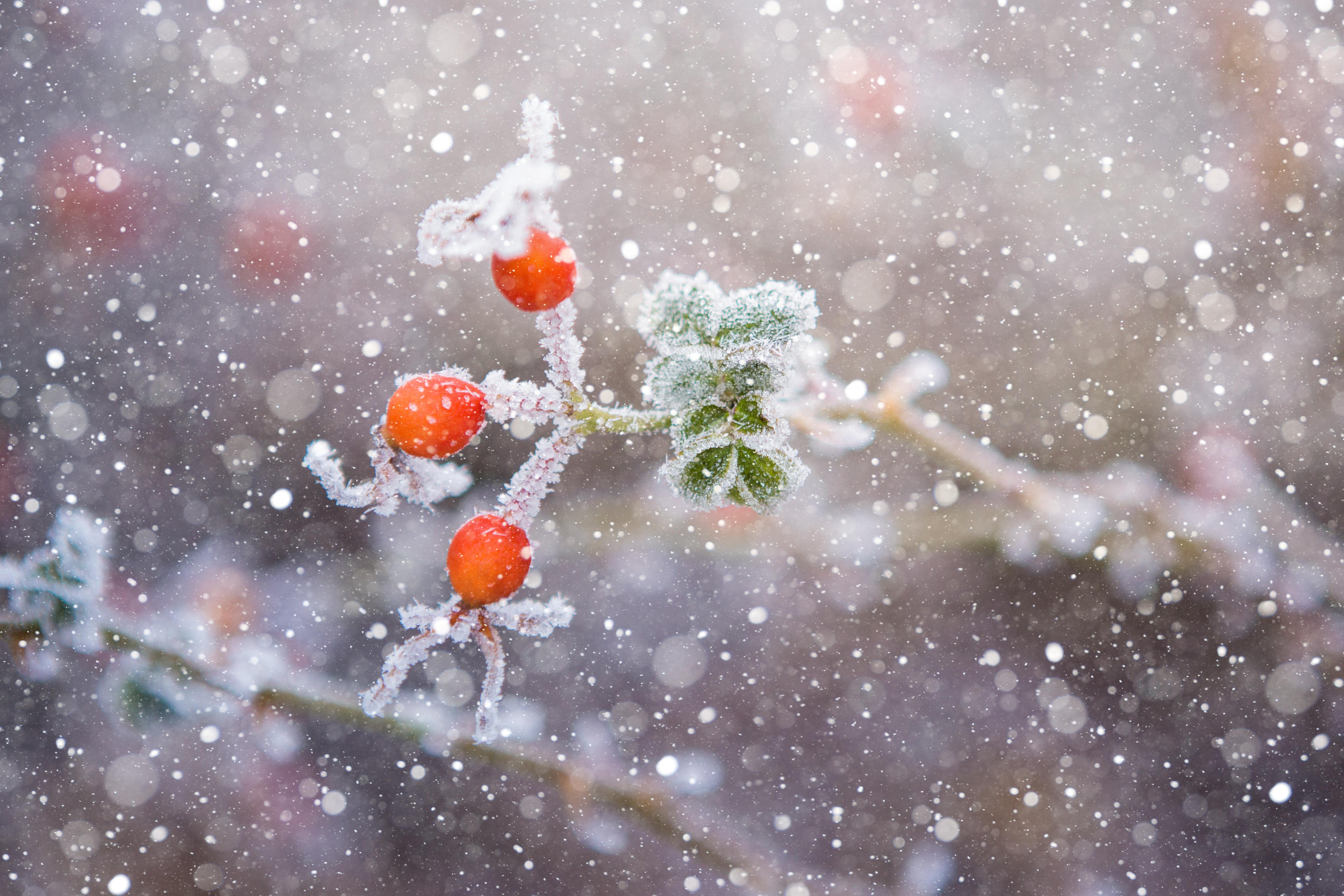 В ноябре ещё можно снять последние ягоды шиповника, рябины или барбариса