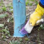 Медный купорос способен защитить плодовые деревья от обыкновенного или европейского рака