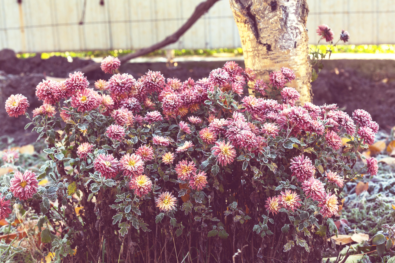 Срезанные в нужный день последние цветы смогут долго стоять в вазе с водой