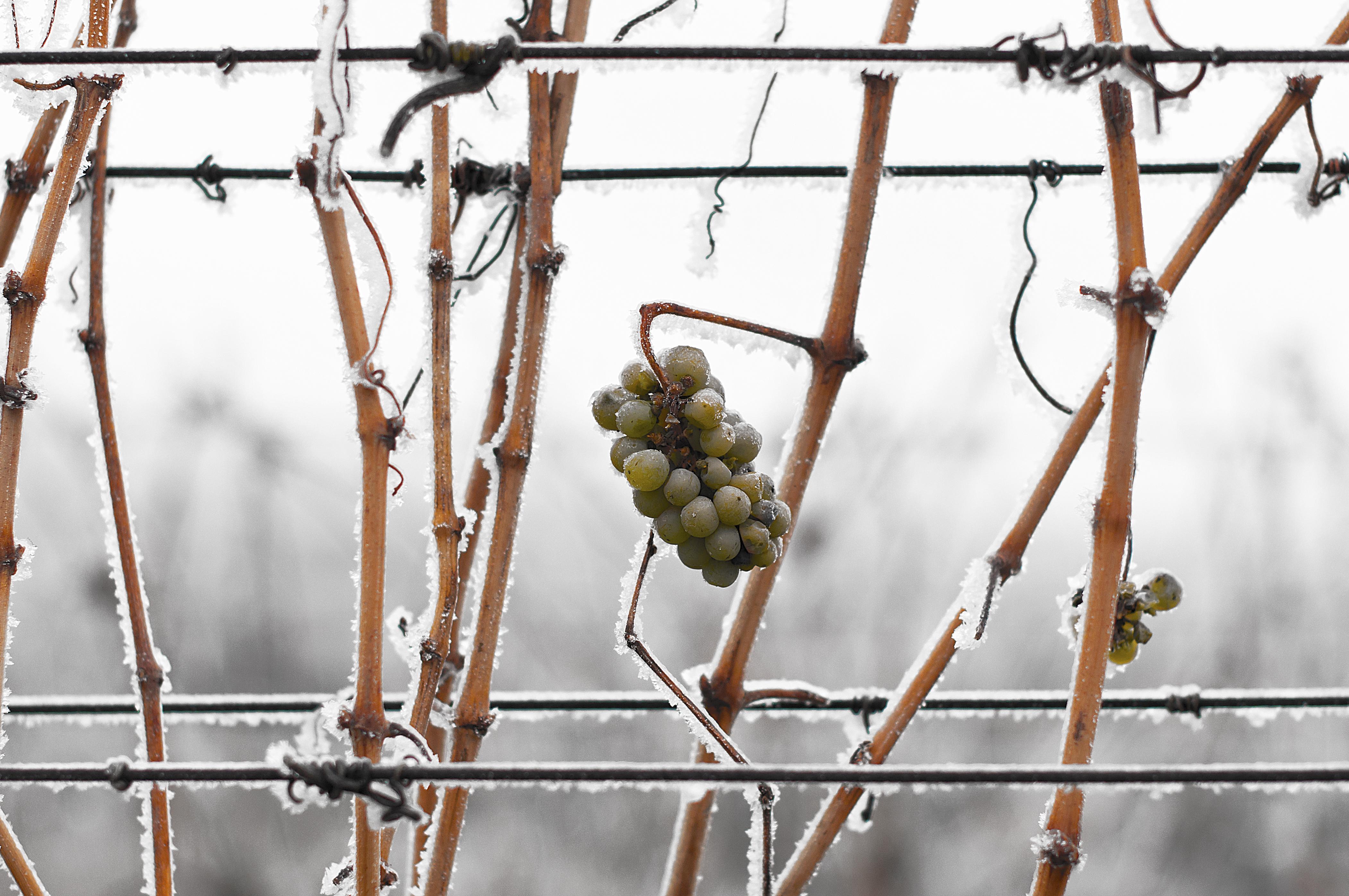 В ноябре придётся следить за погодой, чтобы вовремя укрыть виноград на зимний период