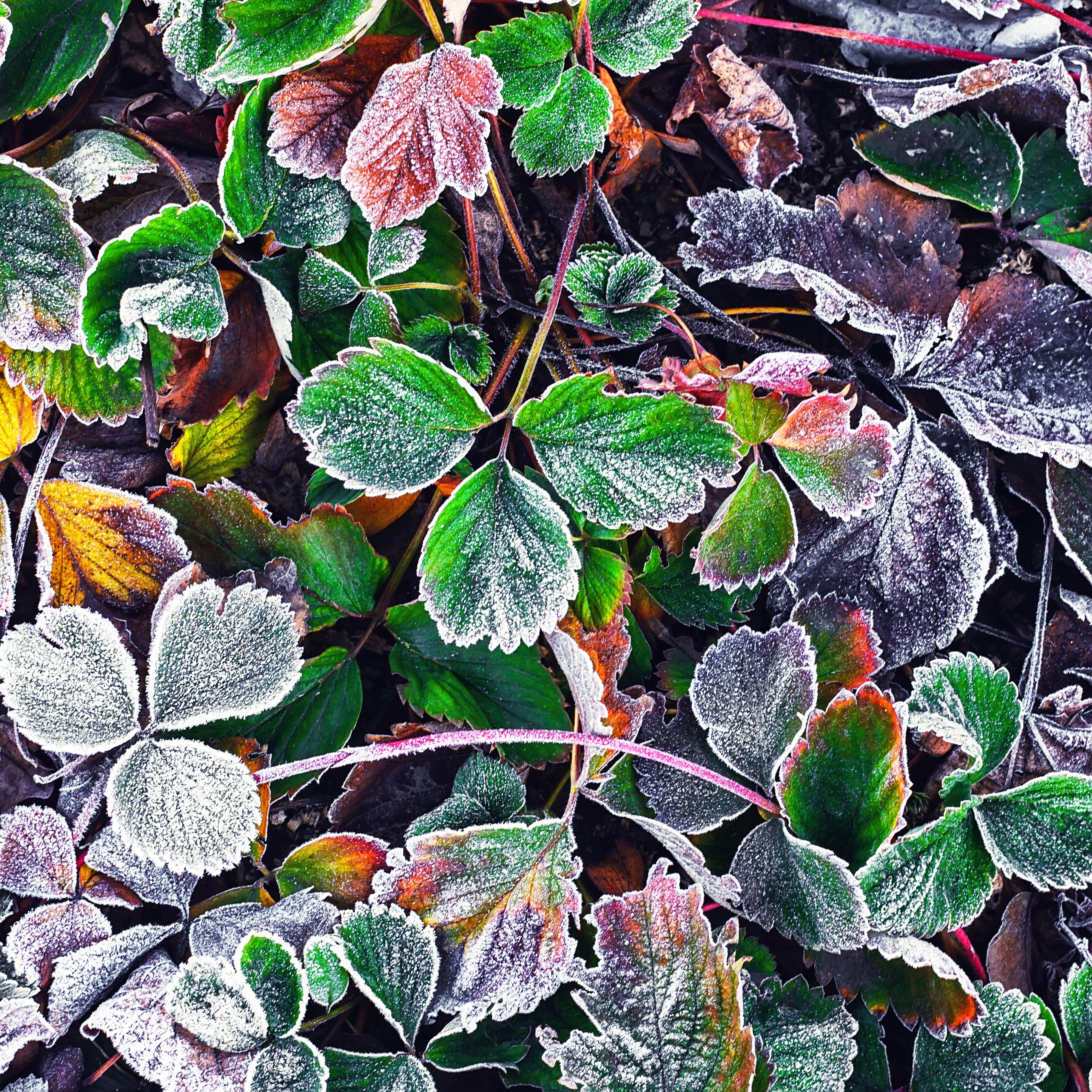 Часть растений в саду потребует укрытия, не стоит обделять вниманием и клубнику