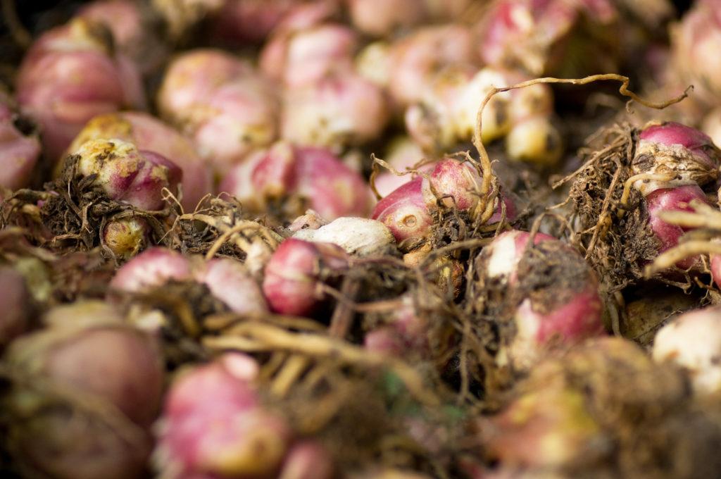 Проверка луковиц, клубней и корневищ цветов - не менее важная забота в уходе будущих растений