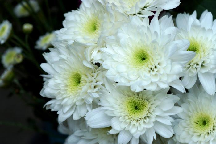 Настой белых цветков хризантем полезен при выпадении волос и седине