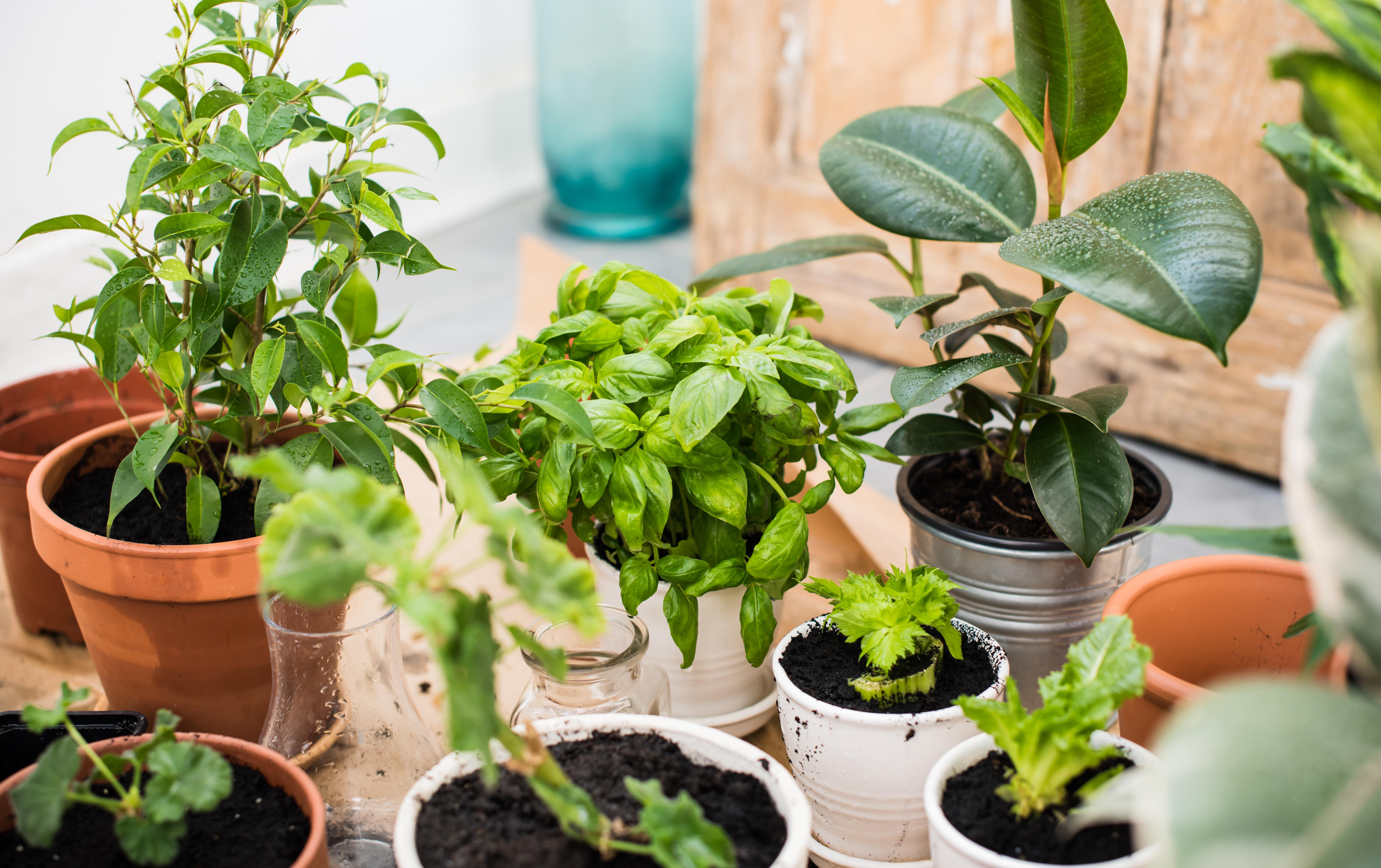 В январе часть комнатных растений готовы к размножению, черенкованию