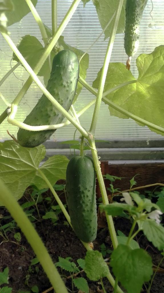 """Огурцы сорта """"Артист"""" показали поразительную урожайность в 2018 г. семенами 2017 года"""