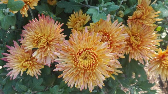 Лепестки хризантемы помогут вам вернуть здоровый и крепкий сон
