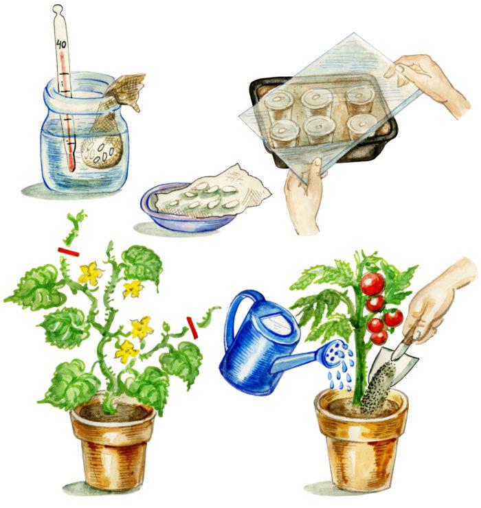 Для семян томатов применяют приёмы обеззараживания с помощью неразбавленного сока алоэ или с помощью 1% раствора марганцовки, а также применяют приём намачивания