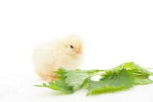 крапива не только помогает дачникам, но и увеличивает яйценоскость у курей и укрепляет иммунитет у цыплят