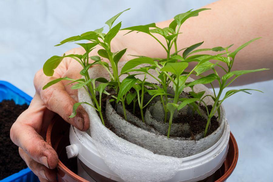 """Посадка семян в """"улитку"""" - один из наиболее популярных способов выращивания рассады"""