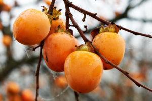 Хурма произрастает на юге России, но в средней полосе и в районы Крайнего севера в продажу поступает привозная ягода из средней Азии, Израиля и ЮАР