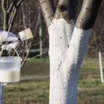 Побелка гашёной известь или садовым варом - одна из основных мер в борьбе с яблонный цветоедом
