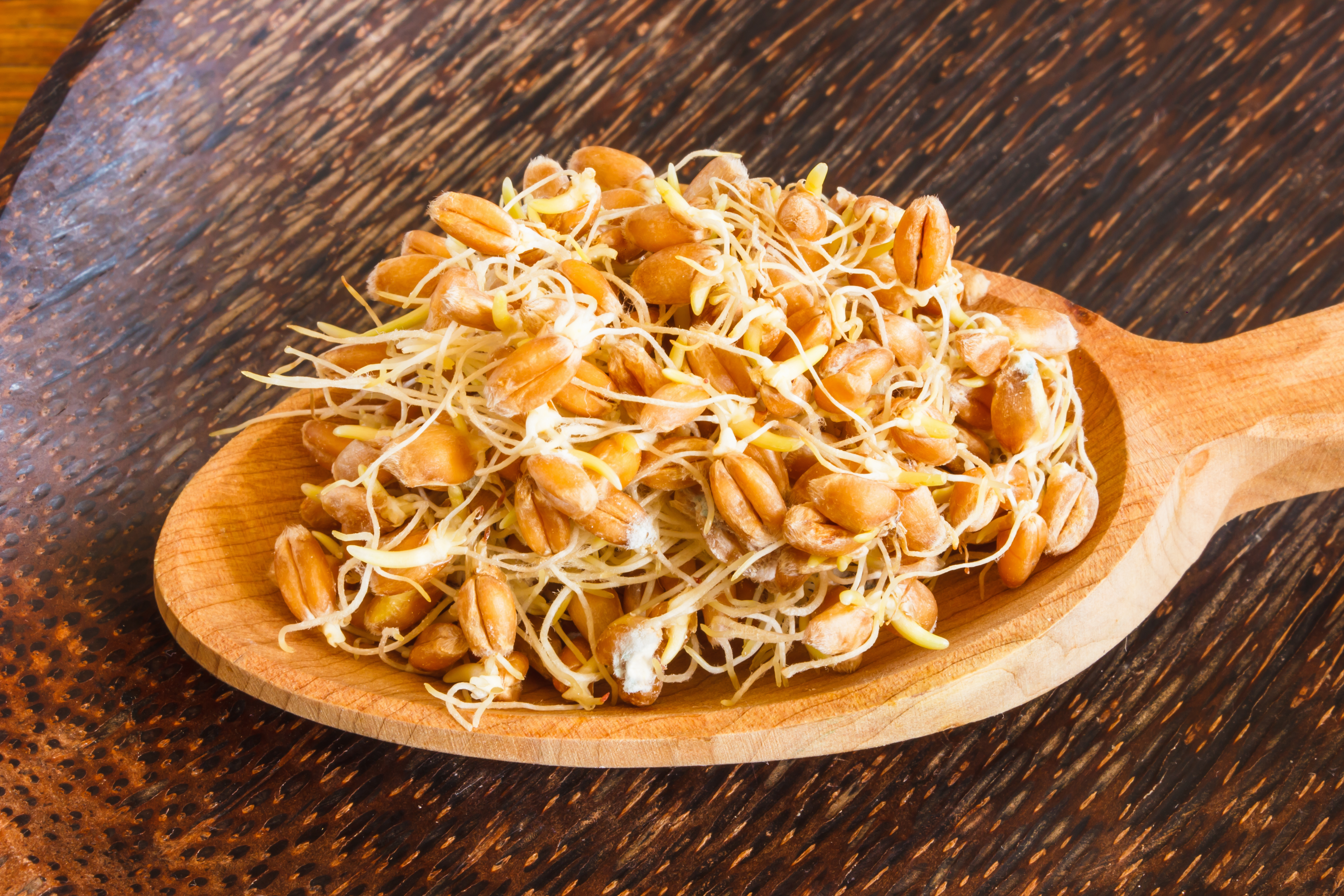 Учёные относят проросшие зёрна пшеницы к ценнейшим оздоровительным продуктам. Такие зёрна обладают повышенной биологической ценностью и являются прекрасным лечебным питанием