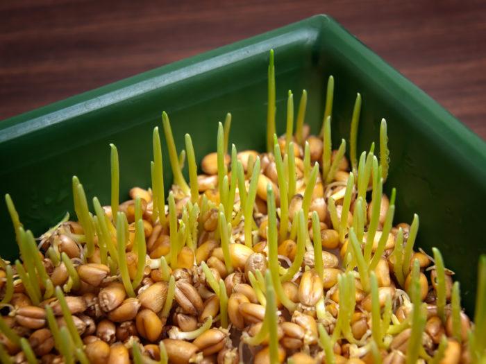 Народная медицина использует зёрна пшеницы для лечения многих недугов