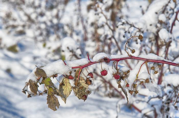 Веточка малины под снегом