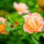 Правила обрезки роз весной для лучшего цветения