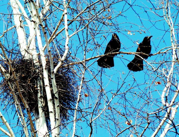 Грачи возвращаются прямо на гнездо, примета дружной весны