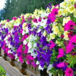 Гарантированный способ вырастить рассаду петуний