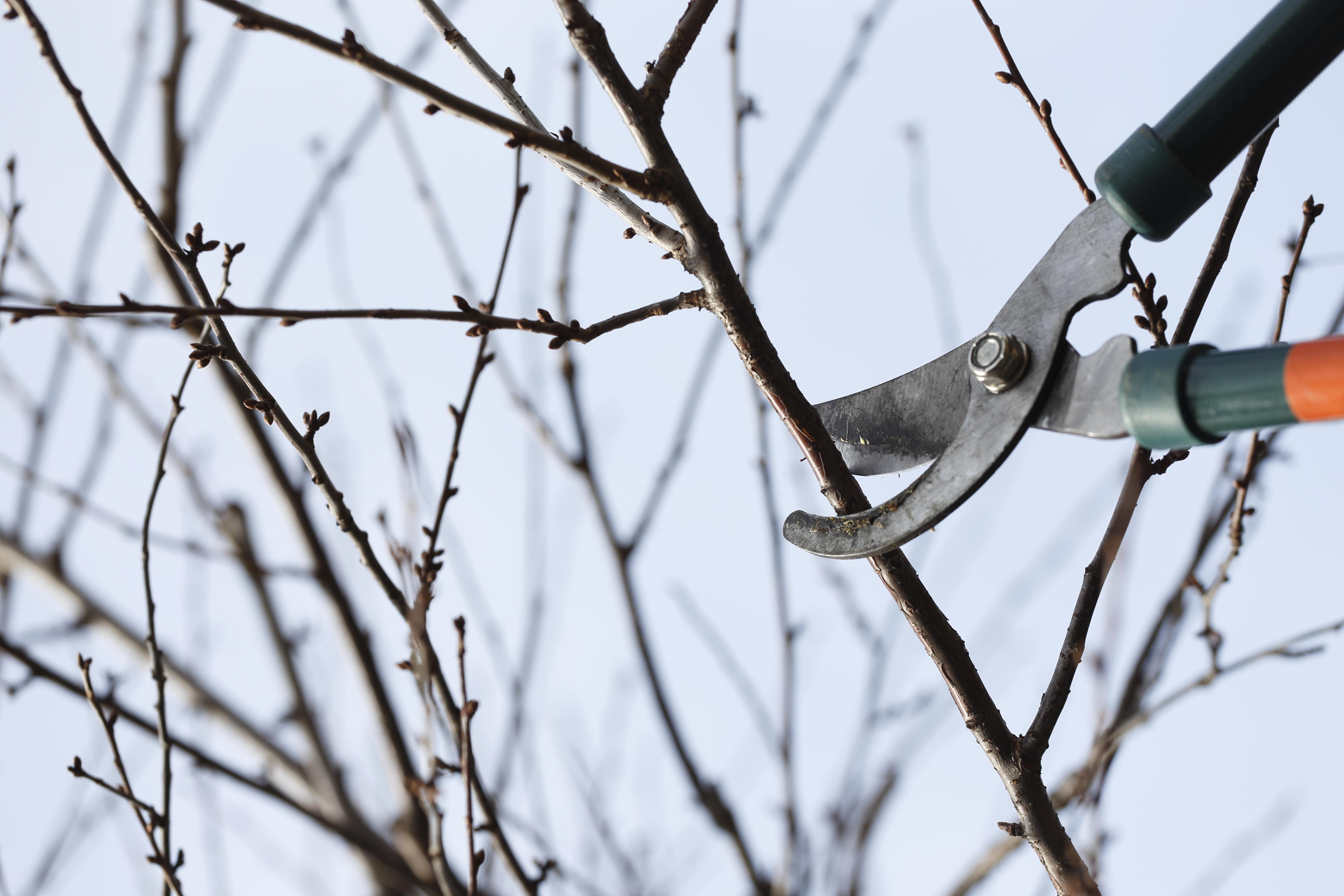 В последний месяц зимы начинают формирующую обрезку деревьев и кустарников