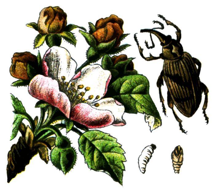 Яблонный цветоед может уменьшить за сезон на 15% урожайность в вашем саду