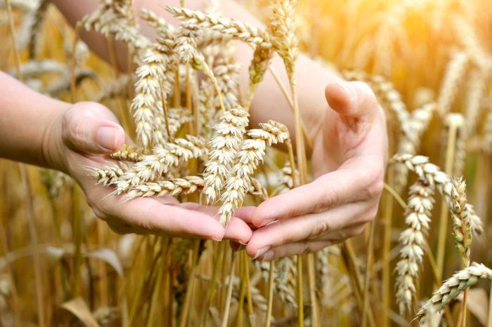 Пшеница оказывает действенную помощь в лечении сосудов и отёков
