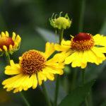 Гелениум осенний высокорослое растение, цветки которого при цветении не меняют окраску