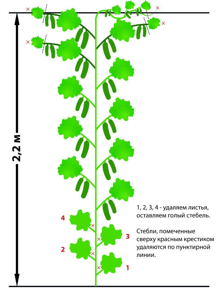 Схема посадки и ухода за пучковыми гибридами огурцов корнишонов