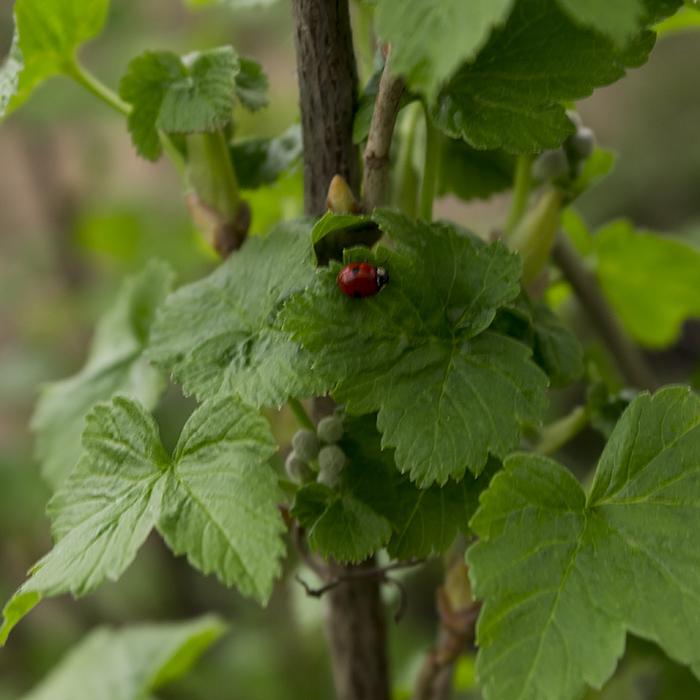 У настоя из листьев чёрной смородины приятный вкус и масса полезных свойств