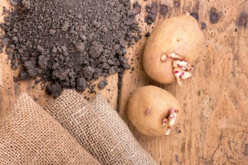В марте начинают выкладку картофеля и клубней цветов на свет